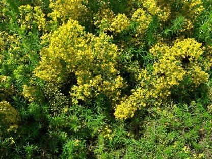 lady's-bedstraw-flowers-kahikatea-farm