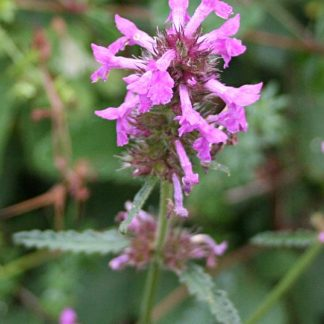 Betony_-_Stachys_officinalis