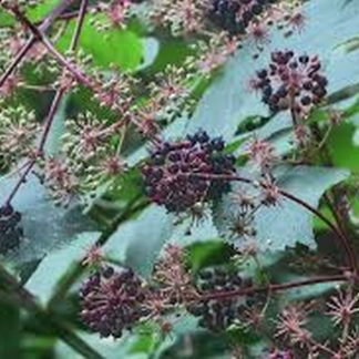 california-spikenard-aralia-californica