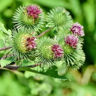 great-burdock-burdock-arctium-lappa