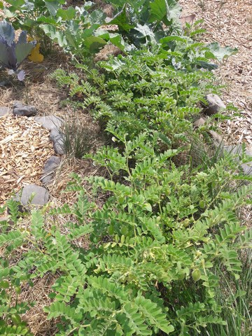 chick pea plants at the marae garden on my kai oranga course