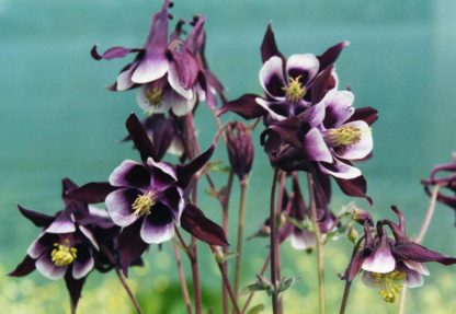Aquilegia-'William-Guiness'