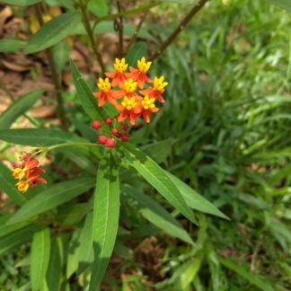 Butterfly-Flower-Asclepias-curassavica-shrub