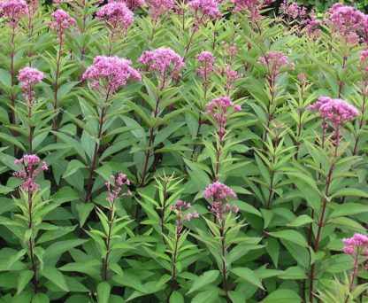 Eupatorium_purpureum-sweet-joe-pye