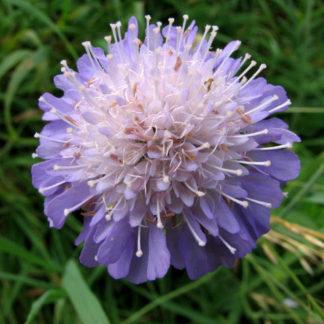 Field-scabious-Knautia-arvensis