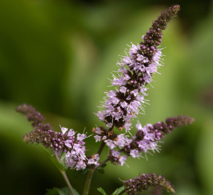 Flowers_of_peppermint_Mentha_×_piperita