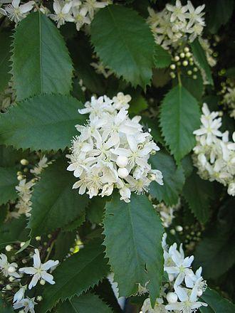 Houhere-lacebark-flowers-medicinal-kahikatea-farm