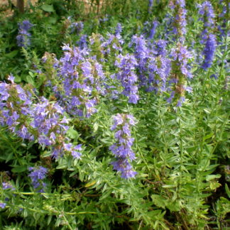 Hyssopus_officinalis_plant
