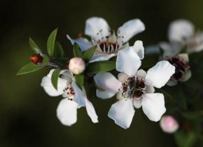 Manuka-flowers-and-native-bee