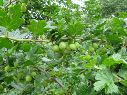 Ribes-divaricatum-worcesterberry-unripe-fruit