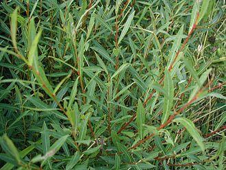 Salix-purpurea-purple-basket-willow-leaves-kahikatea-farm