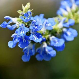 Salvia-uliginosa-bog-sage-flower