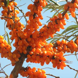 Sea-buckthorn-fruit