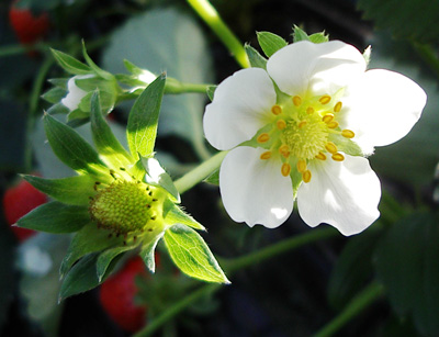 Strawberry_flower
