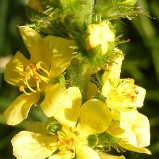 agrimony-flower