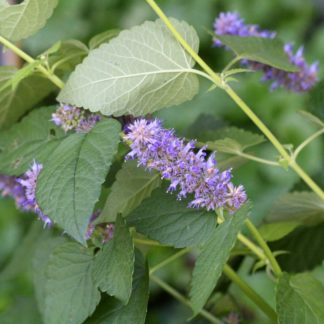 anise-hyssop-flowers