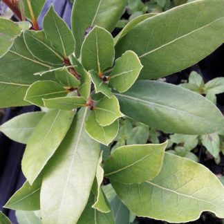 bay-leaves-foliage-kahikatea-farm