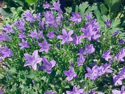 bellflower serbian