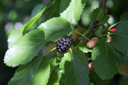 black-mulberry-tree