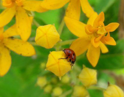butterfly-flower-asclepias-ladybird-kahikatea-farm