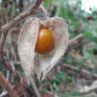 cape-gooseberry-physalis-kahikatea-farm