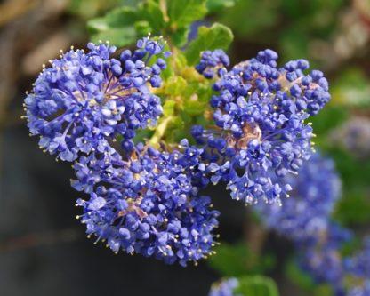ceanothus-blue-cushion-california-lilac-flowers