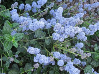 ceanothus-yankee-point-california-lilac-flowers