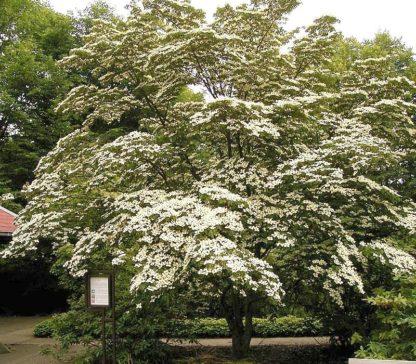 chinese-dogwood-tree