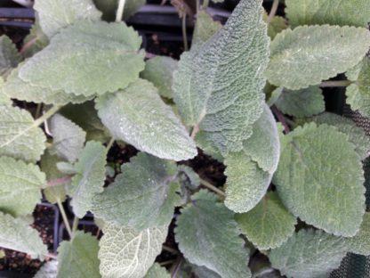 clary-sage-plants-kahikatea-farm