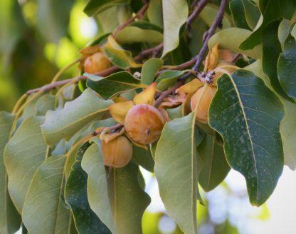 date-plum-diospyros-lotus-caucasian-persimmon-fruit