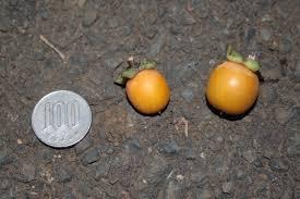 date-plum-fruit-size-diospyros-lotus-persimmon