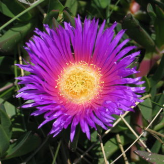 disphyma-horokaka-pigface-flower