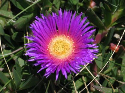 disphyma-horokaka-pigface-flower