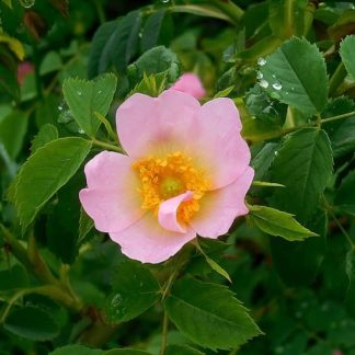 dog-rose-rosa-canina-flower-bush-pink