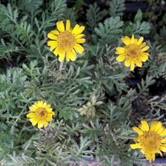 dyer's-chamomile-flower-kahikatea-farm