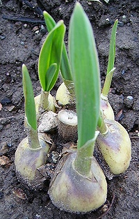 elephant garlic clump sprouting