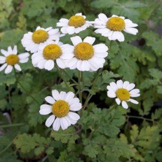feverfew-flowers-kahikatea-farm (1)