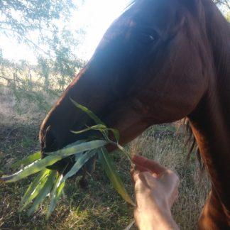 fodder-willow-horse-Kahikatea-Farm