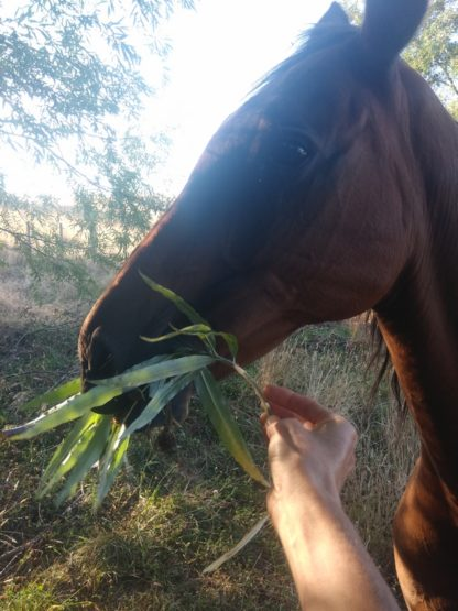 fodder-willow-horse-Kahikatea-Farm