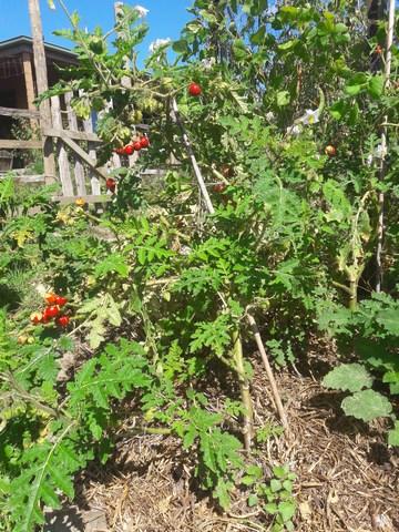 litchi tomato plant
