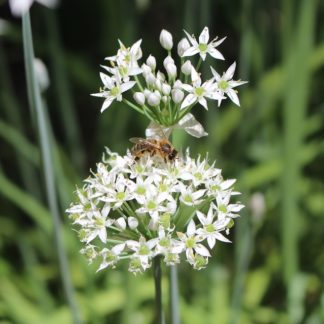garlic-chives-flowers-bee