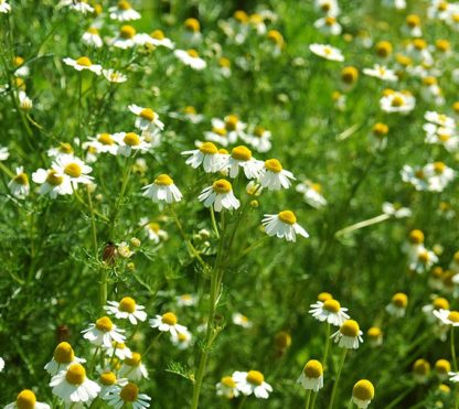 german-chamomile-matricaria