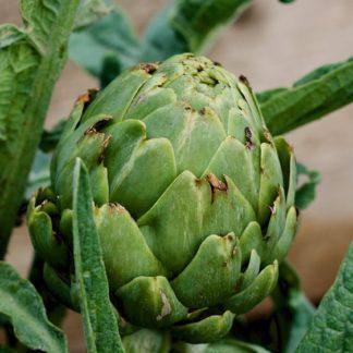 globe-artichoke-green