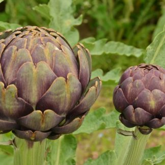 globe-artichoke-purple