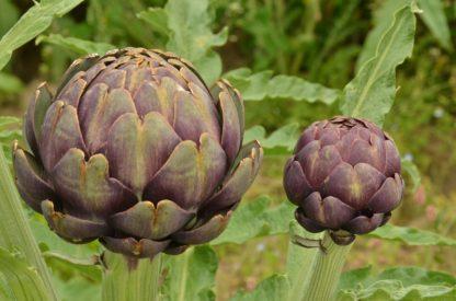 globe-artichoke-purple
