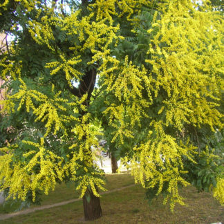 golden-rain-tree-flower