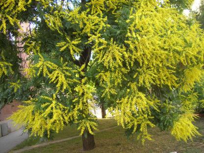 golden-rain-tree-flower