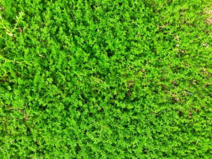green-carpet-rupturewort-kahikatea-farm (2)