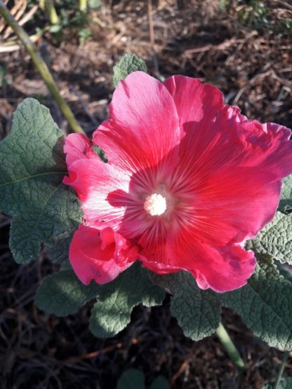 hollyhock-flower-dark-pink-kahikatea-farm