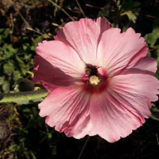 hollyhock-flower-pink-kahikatea-farm